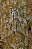 Pine Hawkmoth Stock Photo