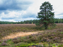 Pine in the heathland Royalty Free Stock Image