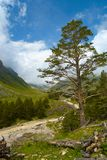 Pine on a hill Royalty Free Stock Photo