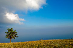 Pine on hill crest at sunset. A lone pine on a hill crest at sunset against blue sky Royalty Free Stock Images