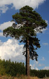 Pine on the hill. Long pine on a hill in the sun on a blue sky background Stock Photo