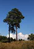 Pine on the hill. Long pine on a hill in the sun on a blue sky background Stock Photography