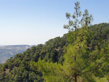 Pine on the hillside Stock Photo