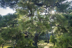 The pine in the historical Nijo Castle Stock Images