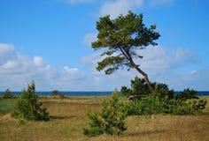 Pine at Hiuumaa Stock Image