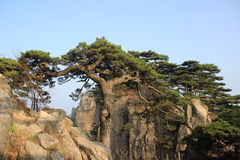 Pine. This is the huangshan pine Stock Photo