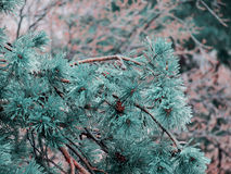 Pine in the ice cold weather Stock Photos