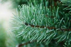 Pine iced tree Stock Photos
