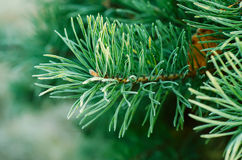 Pine iced tree Stock Image