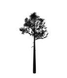 Pine illustration Stock Photo