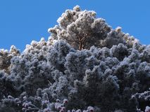 Pine. The image of the pine under snow against the background of blue sky Stock Photo