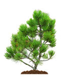 Pine, isolated Royalty Free Stock Images