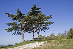 Pine in Istria Royalty Free Stock Images