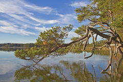 Pine and lake Ostersee Royalty Free Stock Image