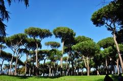 Pine landscape Royalty Free Stock Photography