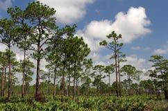 Pine Landscape stock image