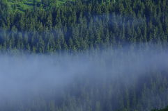 Pine landscape with mist Stock Photography