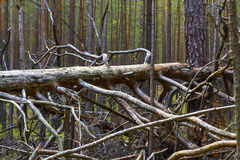 Pine (lat. Pinus sylvestris). Dead fallen tree in a pine Siberian forest Royalty Free Stock Photography