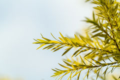Pine Leaf Close-up Royalty Free Stock Photos