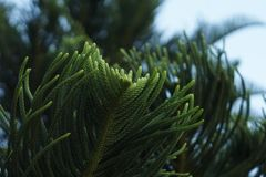 Pine leaf Royalty Free Stock Image