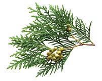 Pine Leaf and Fruits Royalty Free Stock Image