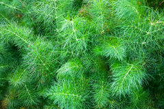Pine leaf Royalty Free Stock Photos