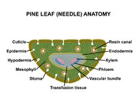 Pine leaf (needle) anatomy. Schematic cross section of a pine leaf (needle Stock Image