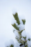 Pine leaf in snow. A stem of pine leaf in snow Royalty Free Stock Photography