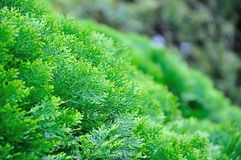 Pine leaf Royalty Free Stock Images