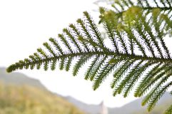 Pine Leave. View on the Annapurna trek of Nepal Stock Image