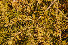 Pine leaves Stock Photography