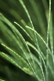 Pine leaves. Macro shot of pine leaves with black background Royalty Free Stock Images