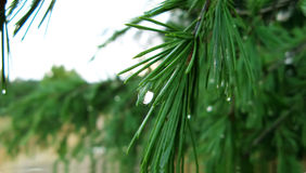 Pine leaves. Close-up of raindrop on pine leaves Royalty Free Stock Images