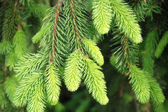 Pine Leaves royalty free stock photos