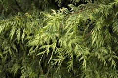 Pine leaves Stock Photos