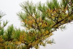 Pine leaves and branches Stock Photography