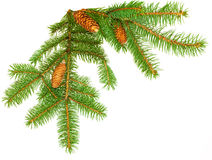 Pine Leaves and cones Royalty Free Stock Photography
