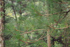 Pine leaves. In dalat vietnam Stock Photography