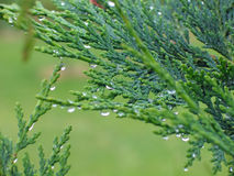 Pine leaves with dew Royalty Free Stock Photos