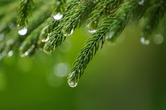 Close up of pine leaves with drops of water after raining. Pine leaves with the drops of water after raining in close up royalty free stock photos