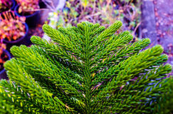 Pine leaves Royalty Free Stock Images