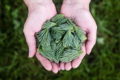 Pine Leaves, Green, Hands, Holding Stock Image