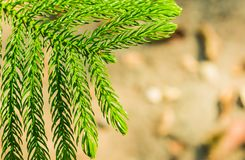 The pine leaves green Stock Photo