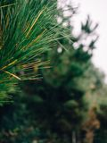Pine leaves in the woods royalty free stock photos
