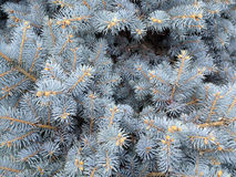 Pine leaves texture. Background in winter Stock Photo