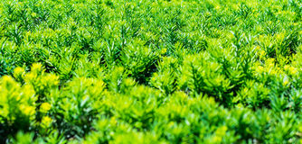 Pine leaves Royalty Free Stock Image