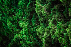 Pine leaves. A wall green leaves of pine trees Stock Photo