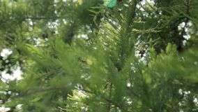 Pine leaves in the wind boom down stock video footage