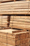 Pine limber limber Royalty Free Stock Image