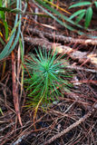 Pine little Stock Photography